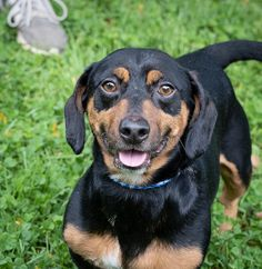 Tennessee is an adoptable dachshund searching for a forever family near Versailles, KY. Use Petfinder to find adoptable pets in your area. Mini Dachshund, Dachshund Puppies, Dachshund Adoption, Humane Society, Versailles, Tennessee, Searching, Pets, Animals