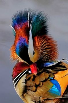 Mandarin Duck Didn't know a duck could be so beautiful