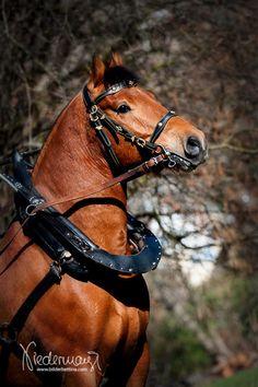 freiberger horse-heavy warmblood