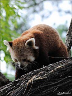 Pandas Roux du Zoo de la Flèche (Yang et Sangha)