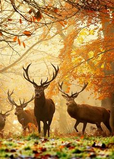 London's Richmond Park is famous for its deer, which roam freely throughout the year within its borders. Autumn is a great time to visit, as the park is amazingly colorful and the deer look lovely on the fallen leaves.