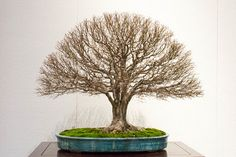 Seeing the deciduous bonsai on display at Kokufu is always a treat. Here's a great example – a broom-style zelkova with strong roots, straight trunk, and many fine branches creating a f…