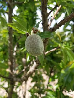 Hey! What happened to that almond? #fulltimeauthor #KTBowes Countries Of The World, Almond, Pure Products, Shit Happens, Almond Joy, Almonds