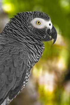 African grey. Got a Grey in 1975, I lost him in 2012. Great birds....S.T.