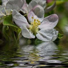 Blütenwasser - Apfelblüte