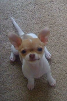 just to kiss that face #chihuahua