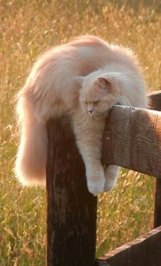 CATS: reflecting, relaxed, all fours draped over the cornerpost of a cuntry fence in a grassy meadow. Inspiring. Uplifting.