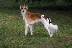 Silken Windhound Breed Guide - Learn about the Silken Windhound.