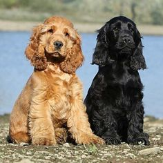 Acquire excellent suggestions on They are actually readily available for you on our internet site. Baby Puppies, Cute Puppies, Cute Dogs, Dogs And Puppies, Doggies, English Cocker Spaniel Puppies, Black Cocker Spaniel, Spaniel Breeds, Dog Breeds