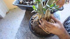 Planta 288 Tutorial Levantamento de Raizes de Adenium Rosa do Deserto