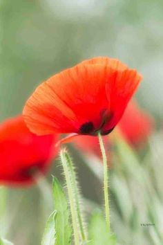 57 best rug hooking poppies images on pinterest poppies red poppies mightylinksfo