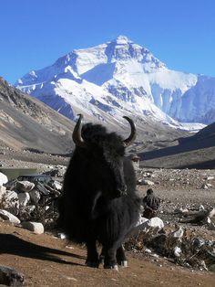 Yak and Everest - Tibet