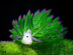 After sea bunnies ... i introduce you leaf sheep (nudibranch)