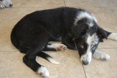 Litter of 4 Border Collie puppies for sale in ORLANDO, FL. ADN-25760 on PuppyFinder.com Gender: Male. Age: 12 Weeks Old