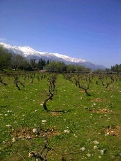 Vineyards of Dourakis winery in Zourva Crete, Greece!