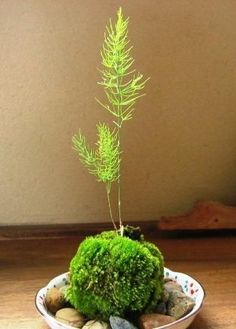tiny Japanese garden from moss ball fern shoot is called kokedama. #kokedamasideas