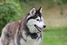 Siberian husky as wolfdog breeds in the world Husky Mix, Husky Puppy, Akita, Scottish Terrier, Boston Terrier, Siberian Husky Facts, Siberian Huskies, Designer Dogs Breeds, Most Beautiful Dog Breeds