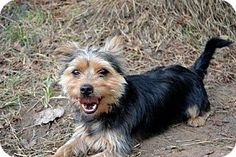 Staten Island, NY - Yorkie, Yorkshire Terrier Mix. Meet FOREST, a dog for adoption. http://www.adoptapet.com/pet/11796112-staten-island-new-york-yorkie-yorkshire-terrier-mix