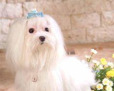 maltes_cachorro