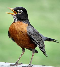American Robin, Yosemite National Park, CA ~ Sing for your Springtime!