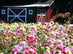 Visit This Enchanting Dahlia Flower Farm In Oregon Oregon Flower, Dahlia Flower, Flowers, Oregon Travel, Flower Farm, Things To Do, Road Trip, September 2, Island
