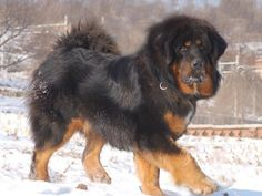 Монгольские пастушьи собаки - банхары - Дикая природа России.