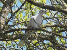 Balkáni gerle/ Eurasian collared dove/ Streptopelia decaocto