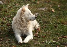 Amazing but Rare Dog Breeds Only a True Dog Expert Would Know Rare Dogs, Rare Dog Breeds, Animal Pictures, Cute Pictures, Man And Dog, Training Your Puppy, Dogs Of The World, Husky, Puppies