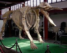 Platybeladon Skeleton from the Gomphotheres - Extinct Elephant type animals from the Miocene and Pliocene epochs, 12-1.6 million years ago. Located at the Rock and Penjing museum, Wuhan, Hubei, China.