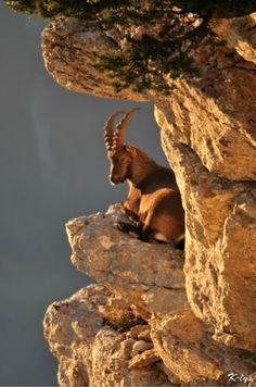 Ibex goat