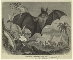 The Great Vampire Bat. From New York Public Library Digital Collections.