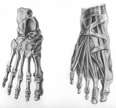 Anatomical Drawings, foot anatomy, dorsal view, bones and muscles