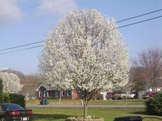 bradford pear tree. Love my Bradford's and the one in the backyard is much larger than any of the ones in the front. At my old house I planted over 20 of these up and down the drive way. I'll never do that again. They can be picky and when you lose one then they all look weird. I will spot plant mine now. Had to move quite a few of them at the old house to even everything out on the driveway.