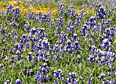 A closeup of the Lupine on Table Mountain, just outside of Oroville in Butte County, Northern California