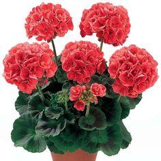 Мобильный LiveInternet Ращу цветок старинный я —  Герань теперь есть у меня.   галина5819 - Дневник галина5819  