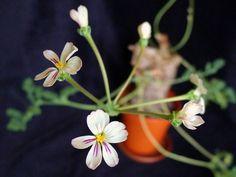 CAUDICIFORM Pelargonium triste