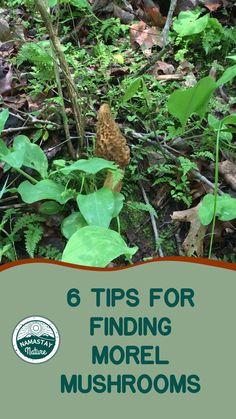 Fruit Garden, Edible Garden, Edible Mushrooms, Stuffed Mushrooms, Organic Gardening, Gardening Tips, Mushroom Hunting, Living Off The Land, Wild Edibles