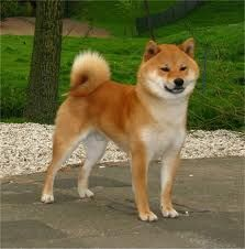 shiba inu - Buscar con Google Read more in: http://lovablepawsandclaws.com/