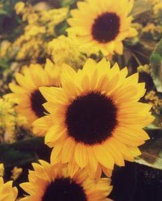 Girassol: a flor do sol - Jardim de Flores