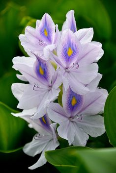Jacinthe deau / Water hyacinth by anjoudiscus // These beautiful flowers are a serious pest in south Louisiana, clogging waterways. -LW