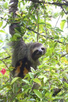 Sloth!!! Isla de San Cristobal, Bocas del Toro, Panama. Sept 2014.