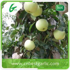 Fruit market prices golden delicious apple exporters