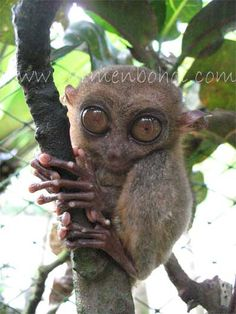 tarsier smallest monkey primate in the world can be found in the tropical asia in the islands of the philippines in bohol #animals www.BoholBeauty.com