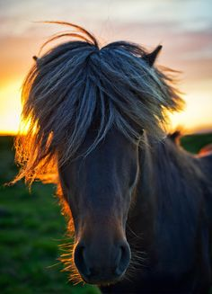 I passed a perfect grassy farm filled with perfect Icelandic horses. They are all super hairy and very friendly. The horses have no fear of humans or elves. So I walked right into a group of them and started taking photos. I waited a bit until this fine horse got into position with the setting sun just behind him. - Iceland - Photo from #treyratcliff Trey Ratcliff at http://www.stuckincustoms.com/