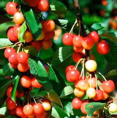 Ranier Cherry tree for sale    Sweetest cherries - grows in zone 9!
