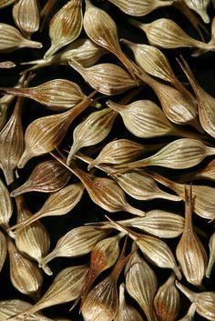 Carex fascicularis (i) by Royal Tasmanian Botanical Gardens, via Flickr