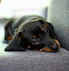 In thought ♥ #Dachshund