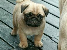 It is so cuuuuuttttteeeeee i ak gonna crt it is adorable #Pug