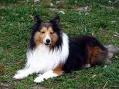 Image result for shelties