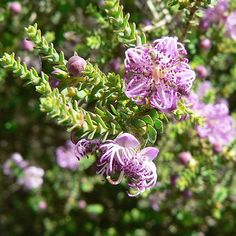 Suppliers of fresh viable Australian native, exotic, flower, vegetable and herb seeds Australian Native Garden, Australian Plants, Lagerstroemia, African Plants, Herb Seeds, Small Leaf, Melaleuca, Colorful Garden, All Plants